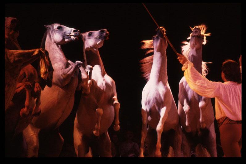 Steigende Araberpferdehengste im Zirkus Knie: Natürliches Verhalten, losgelöst vom natürlichen Kontext (kein Kampfverhalten), in artistischer Leichtigkeit und Perfektion, als Ergebnis tiergerechter Ausbildung.