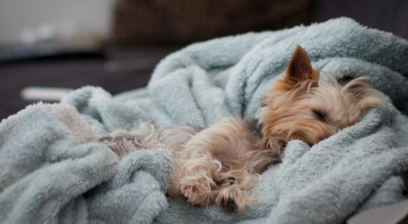 yorkshire terrier durmiendo