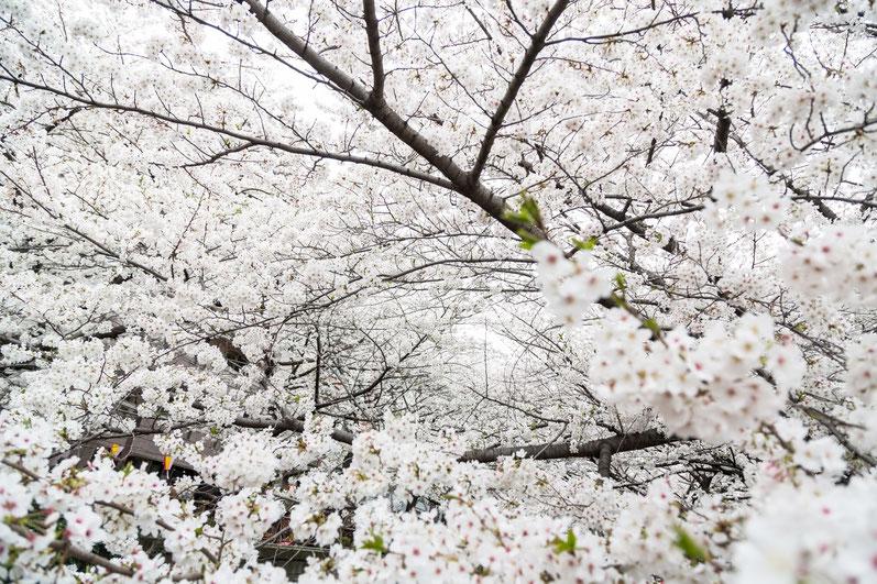 名古屋城_桜まつり