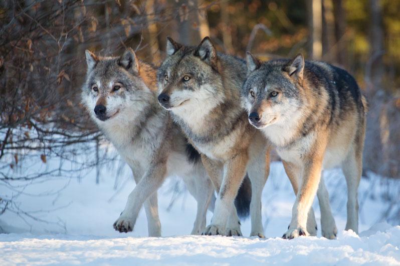 Zusammen mehr erreichen - Das soziale Leben der Wölfe als Vorbild