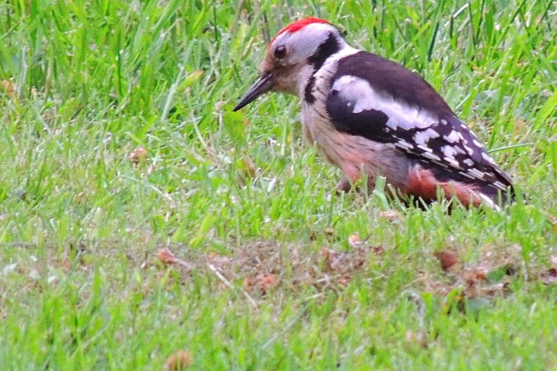 Mittelspecht - Holthacker -  Leiopicus medius - Middle spotted woodpecker Sabine Rümenap Tiere Ostfriesland