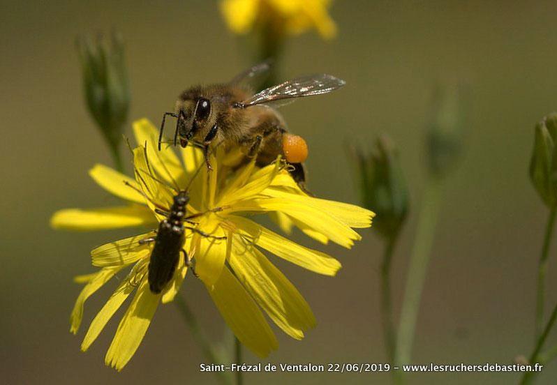 Fleur jaune lapsana communis-insecte Apis mellifera-Coleoptere Oedemera, Cévennes, Lozère