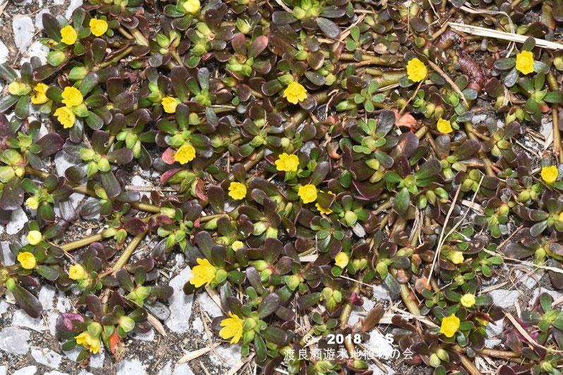 渡良瀬遊水地に生育しているスベリヒユの全体画像と説明文書