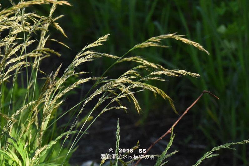 渡良瀬遊水地に生育するカニツリグサの全体画像と説明文書