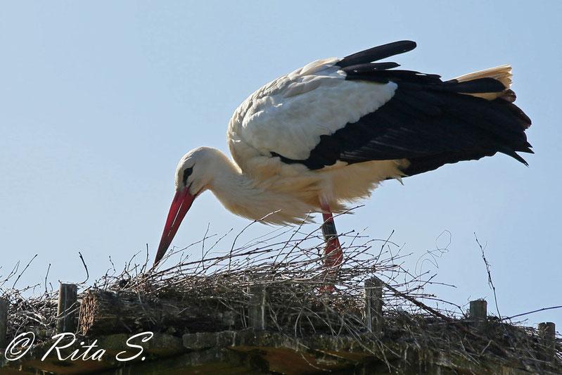 Nestpflege, damit es beim Brüten sauber und gemütlich ist (MAX)