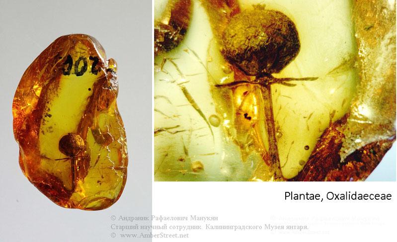 Инклюзы в янтаре:  Plantae, Oxalidaeceae