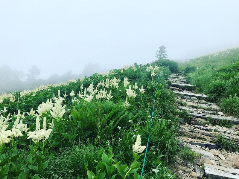 種池山荘手前のお花畑。コバイケイソウ。