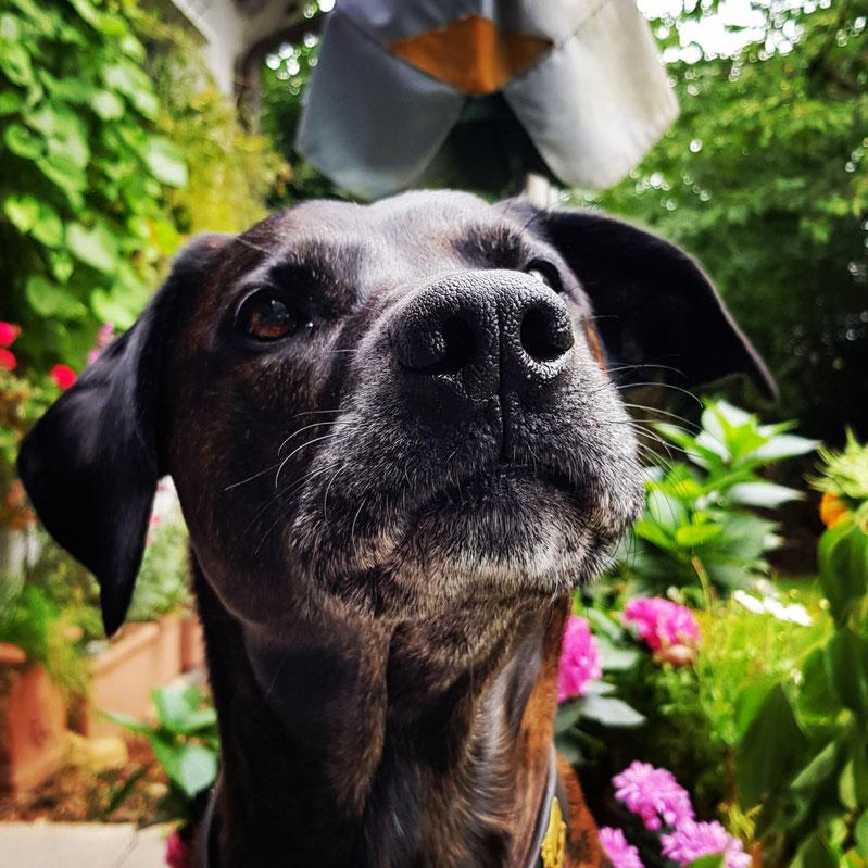 Der beste, tollste, lustigste, liebste, schlaueste, tollpatschigste und ehrlichste Hund der Welt. Mein Higgins.