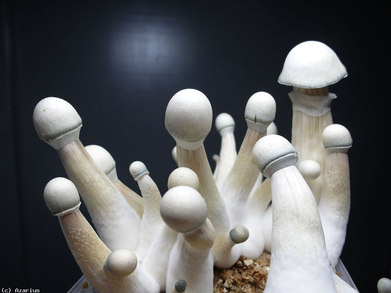 Champignons magique moby dick