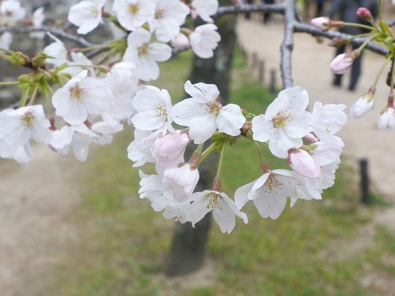 夙川に家族でお花見散歩に行ってきました♪