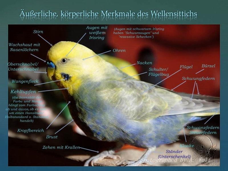 """Männchen Angelo (Farbschlag: mauve/ violett, opalin, Hellflügel, optisches Gelbgesicht, """"Rainbow"""")"""