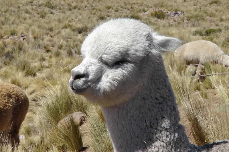 Alpakas aus den peruanischen Anden