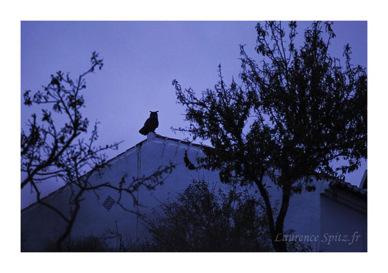 "MG5606. "" L'heure bleue"" . Hibou Grand Duc. (Frigiliana Espagne)"