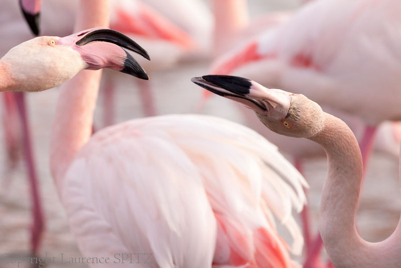 MG0031 •Parade amoureuse des flamants roses