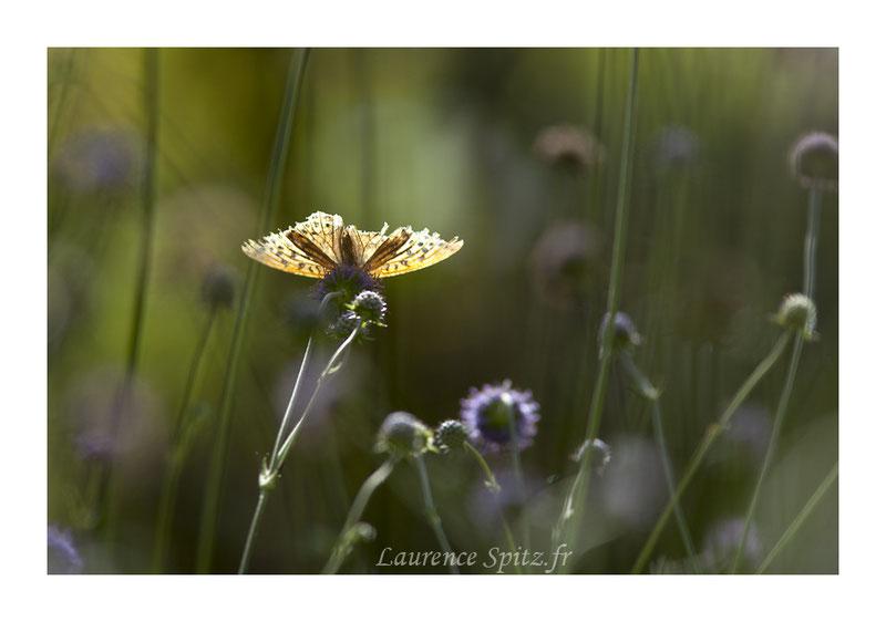 • The light •   C'est la fin pour ce beau papillon mais une fin sous les feux dela rampe !