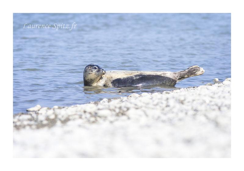 Lâché de phoques en Baie de Somme