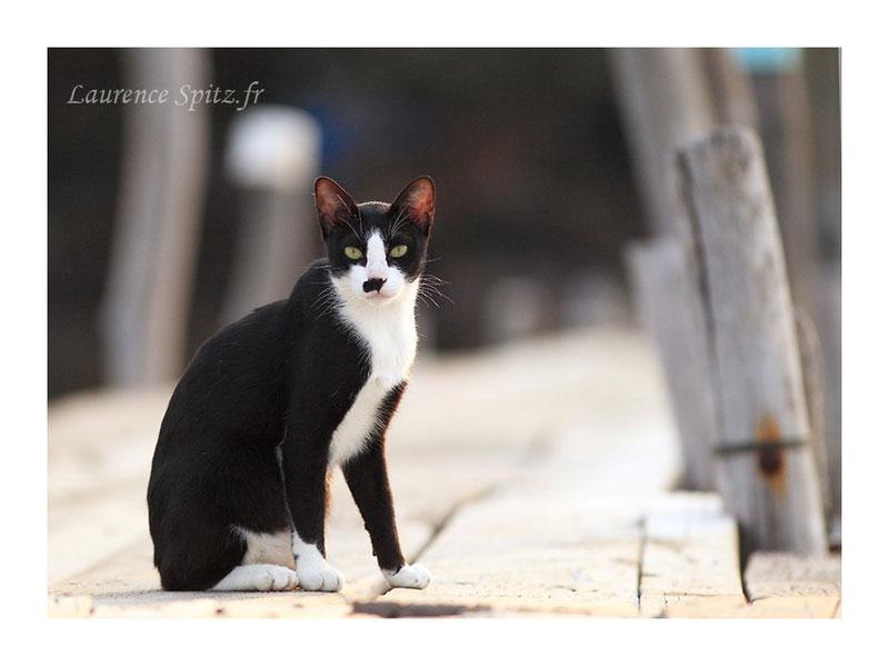 """Kho Wai """" le chat de Tchi Tchai"""""""