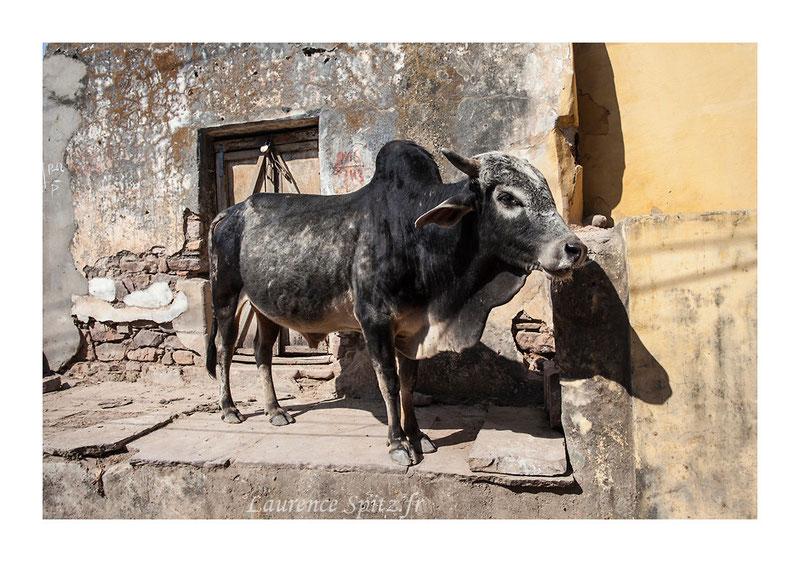 • Sacrée  vache ! • Bundi