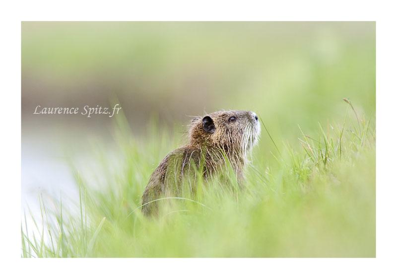 MG4295 •Le nez au vent (jeune ragondin)