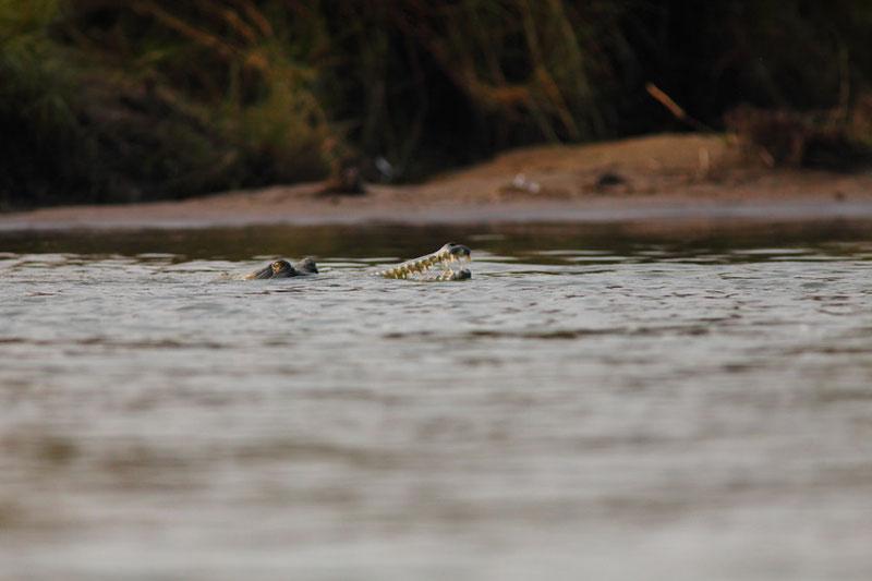 MG1965 • Le gavial