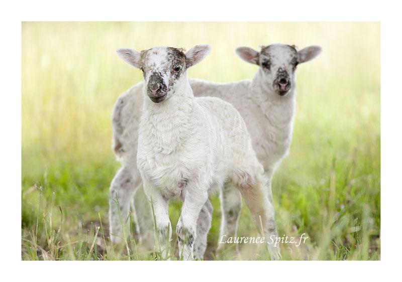 MG5983, Les agneaux.
