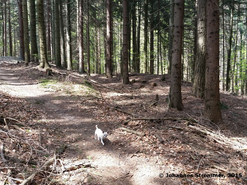 Abbildung 5: Die Waldbahntrasse verläuft hier in einem Linksbogen und kreuzt dabei einen Waldweg. Einige Meter weiter wurde darauf eine Forststraße errrichtet. Blickrichtung Streckenende. (Waldbahn Rekawinkel)