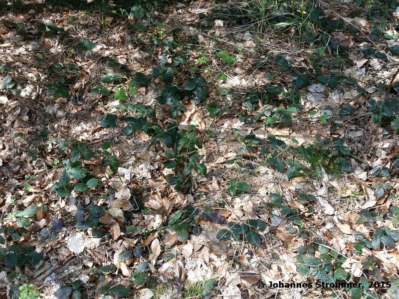 Abbildung 7: In der linken Bildhälfte ist bei genauem Hinsehen die ehemalige Lage von zwei Schwellen auszumachen - wobei in natura das Erkennen um einiges leichter ist. (Waldbahn Rekawinkel)
