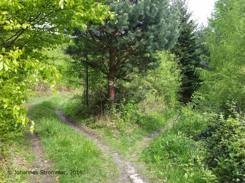 Abbildung 8: Ca. 10 m hinter dem Baum  mit der gelben Markierung hat die Waldbahn die Forststraße und den Wanderweg im rechten Winkel gekreuzt. Die Trasse ist hier noch gut zu erkennen. (Waldbahn Rekawinkel)