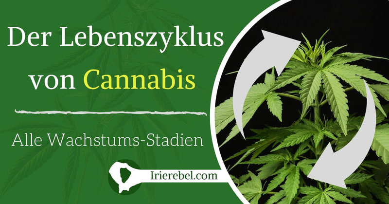 Der Lebenszyklus von Cannabis Pflanzen - Alle Wachstums-Stadien