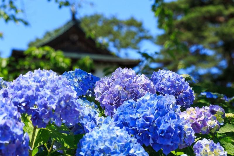 茶屋ヶ坂公園の紫陽花(あじさい)