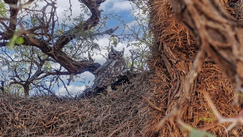 Veilleur de nuit, désert du Kalahari