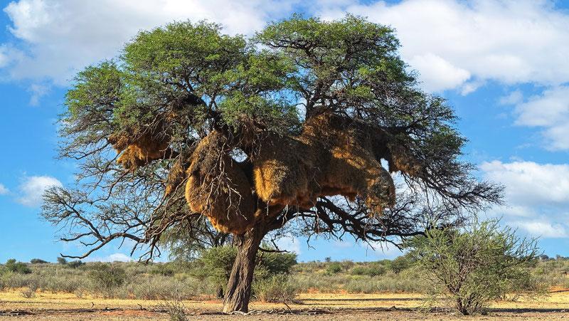 Nids HLM, désert du Kalahari