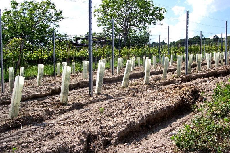 Bodenabtrag (Erosion) in nicht begrüntem Weingarten am Nussberg (Wien-Döbling) beim Unwetter 2014