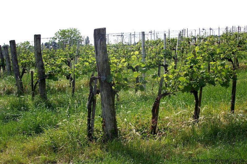 Vor Bodenabtrag (Erosion) geschützte begrünte Weingärten  am Nussberg (Wien-Döbling)