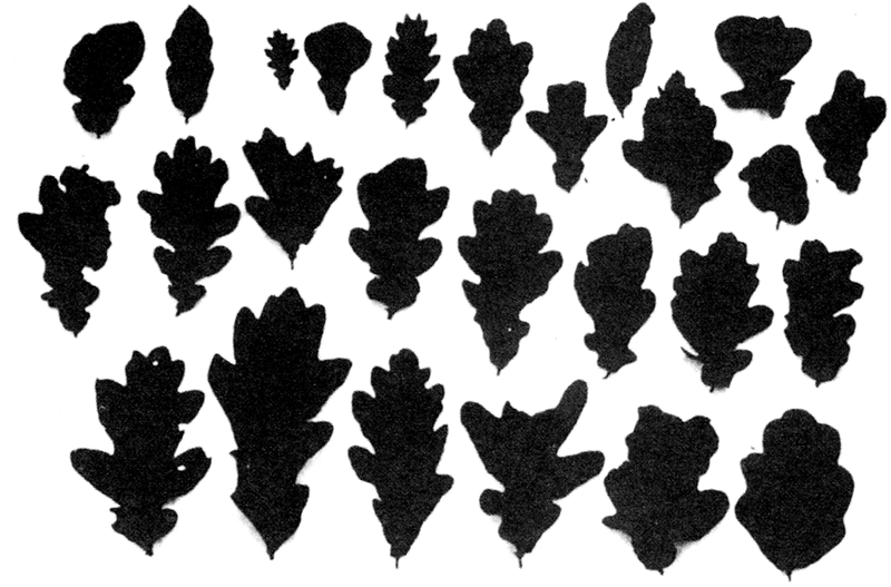 """Infolge der Strahlung deformierte Eichenblätter aus der Region Tschernobyl aus: Zhores Medwedjew: """"Das Vermächtnis von Tschernobyl"""" (1990)"""
