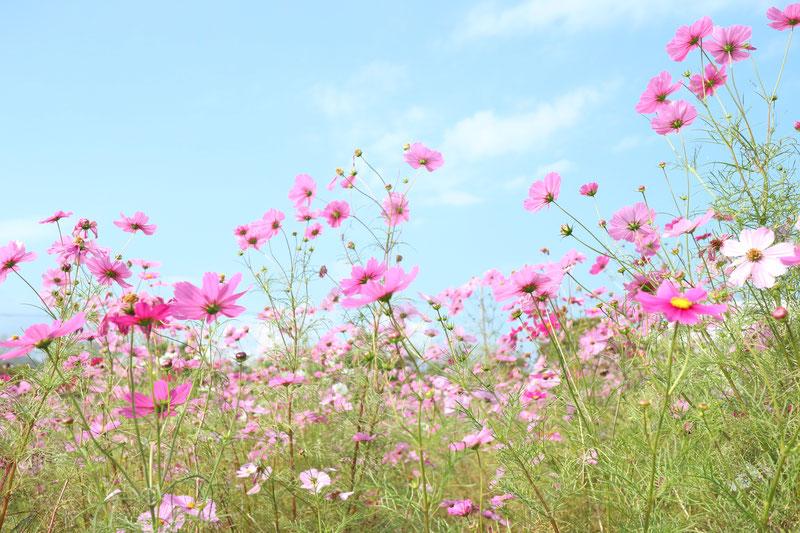 京都市下京区にある、女医による心療内科・メンタルクリニック、秋の風景、コスモス畑