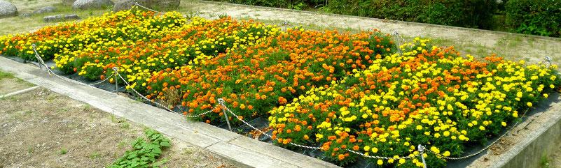 あふれるばかりのマリーゴールド花壇(古井戸公園)