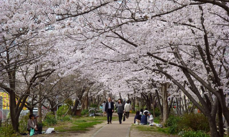 桜のトンネル=プロムナードを散策・・・