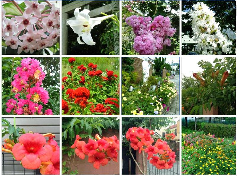 これら全てが箕面の街のお花! 左上は「サクララン(桜蘭)」。