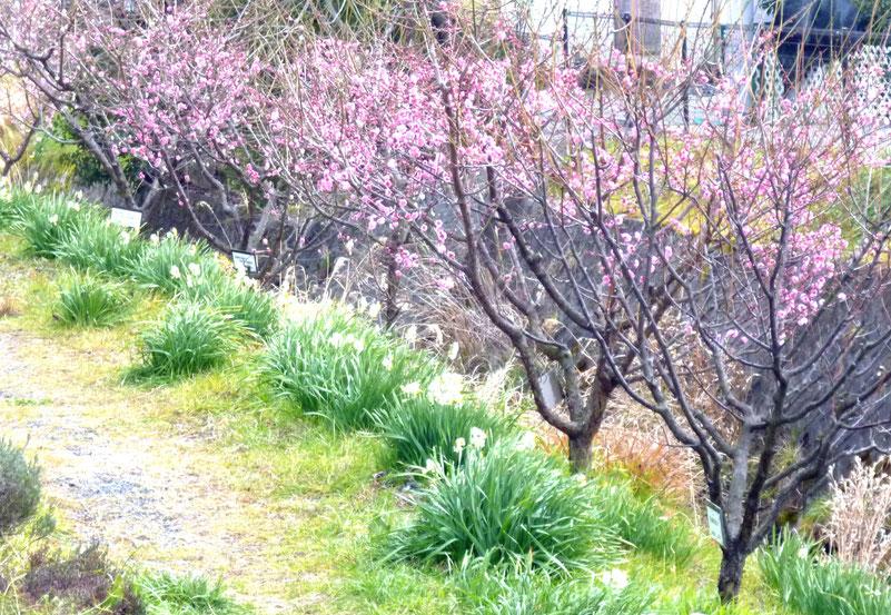 ほころび始めた箕川の梅。2/8撮影