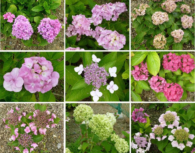 「あじさい園」に咲いてたお花たち
