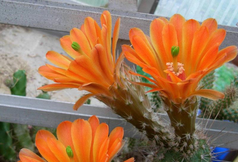 Echinocereus scheeri v salm-dykianus