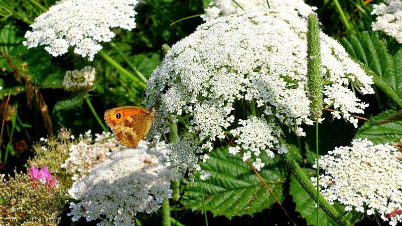 Papillon butineur, Etretat, Normandie