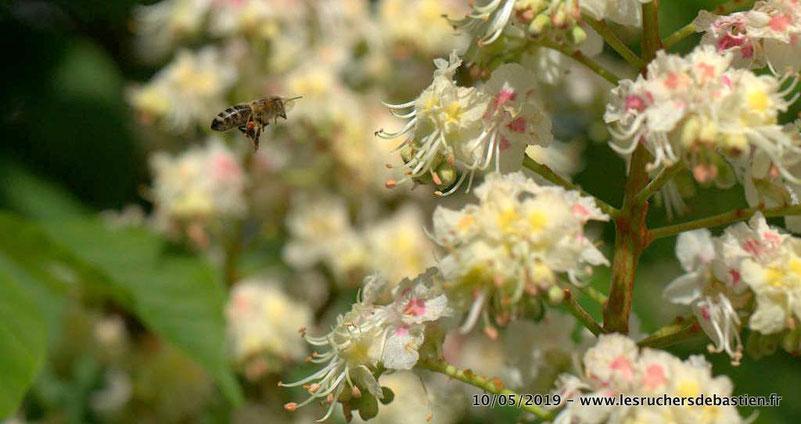 Apis mellifera portant du pollen et Fleur de marronnier Cevennes