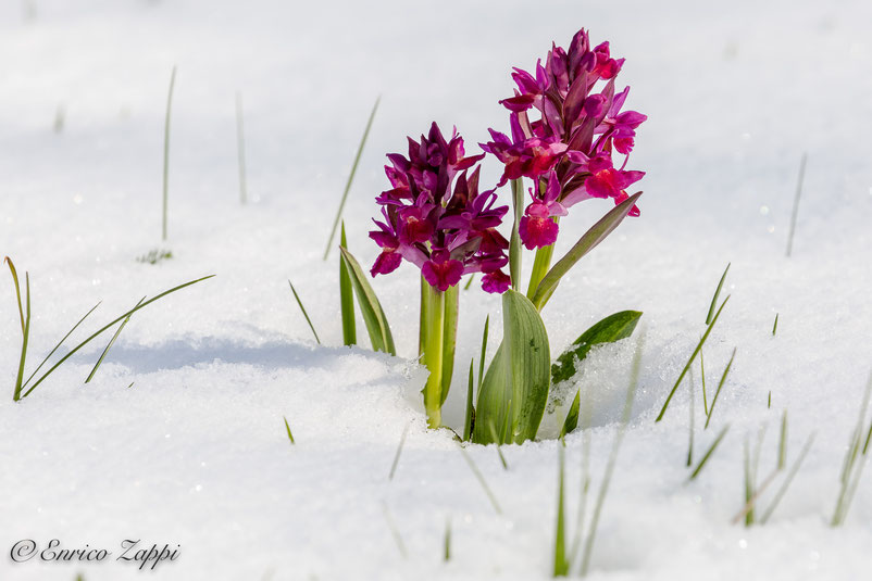 Dactylorhiza sambucina ((L.) Soó, 1962) fra la neve caduta il 24 e 25 aprile - Monte Fumaiolo.
