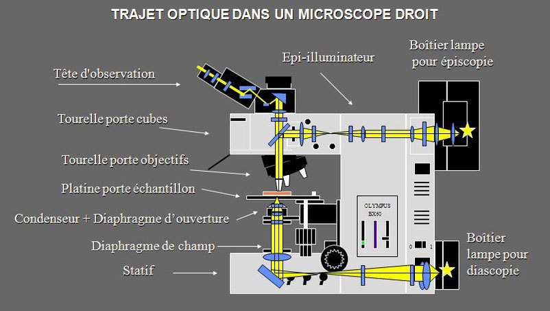 Description des éléments d'un microscope droit document Claude Gonon Microscopie