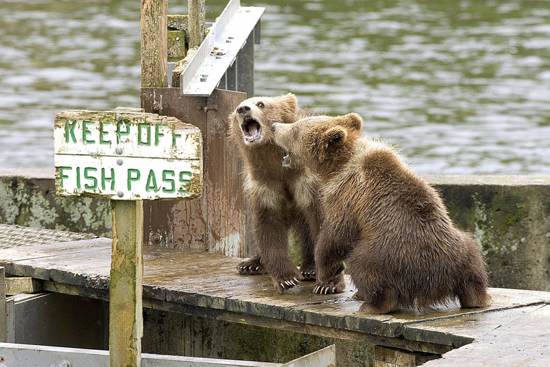 Twee stoeiende beren aan de waterkant