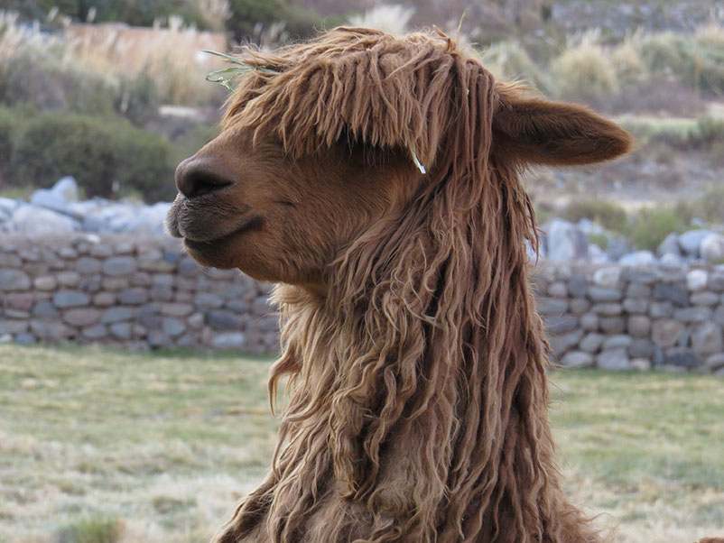 Alpakas aus den peruanischen Anden - Suri