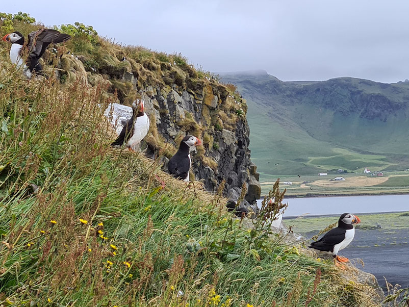 13 Days in Iceland - Puffins at Dyrhólaey