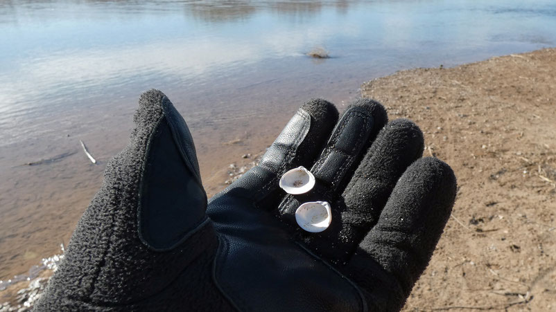 Clams, clamshells, Rio Grande, Corrales, New Mexico